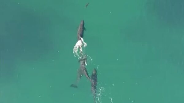 drone whales shark